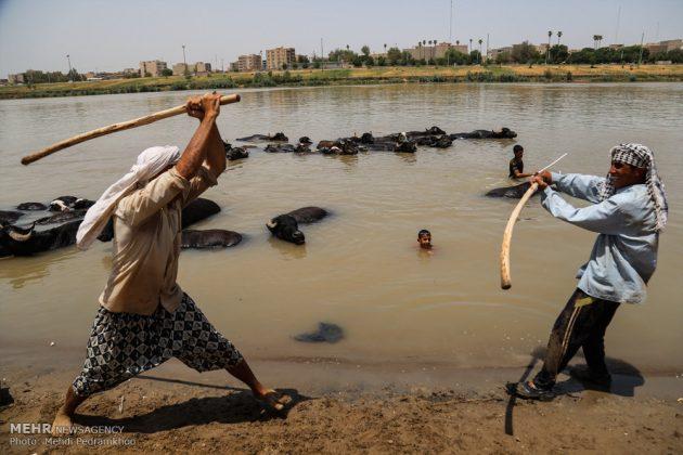 جواميس الماء في نهر كارون في أهواز14