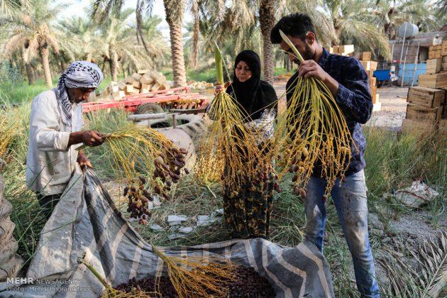 جني التمور بمحافظة خوزستان14