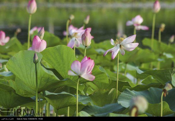 تفتح الزهور فی محمیة انزلی المائیة15