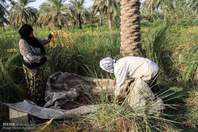 جني التمور بمحافظة خوزستان15
