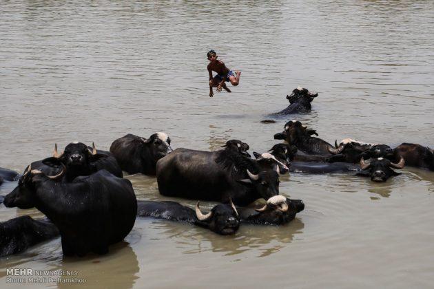 جواميس الماء في نهر كارون في أهواز16
