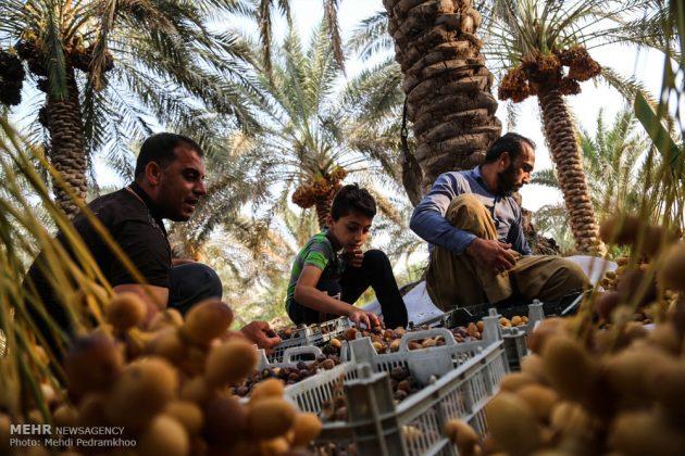 جني التمور بمحافظة خوزستان16