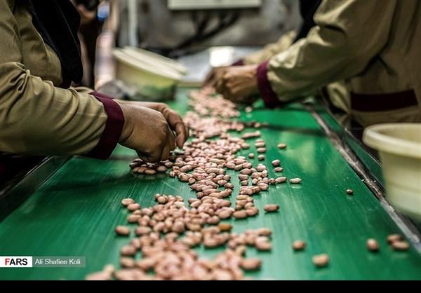 """حصاد """"الفول السوداني"""" شمال ايران17"""
