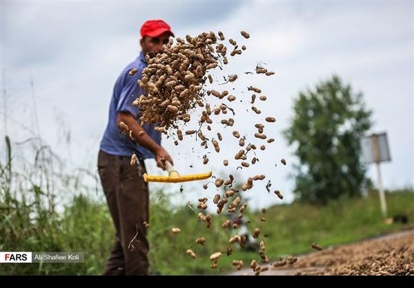 """حصاد """"الفول السوداني"""" شمال ايران19"""