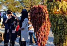 """أرومية الايرانية تحتضن مهرجان """"عناقيد العنب""""2"""