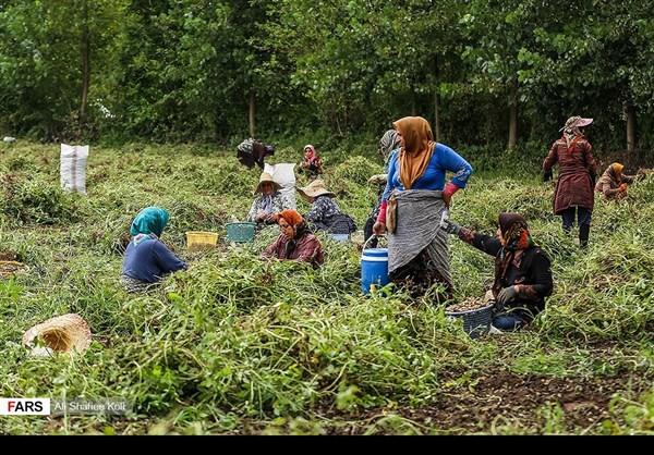"""حصاد """"الفول السوداني"""" شمال ايران2"""