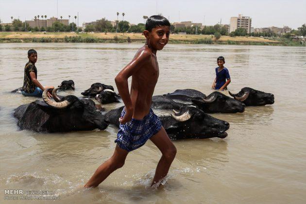 جواميس الماء في نهر كارون في أهواز2