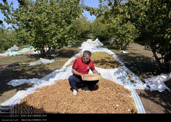موسم حصاد البندق فی شمال ایران2