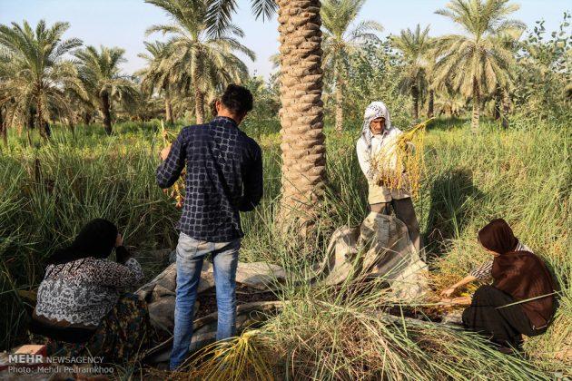 جني التمور بمحافظة خوزستان2