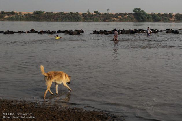 جواميس الماء في نهر كارون في أهواز24