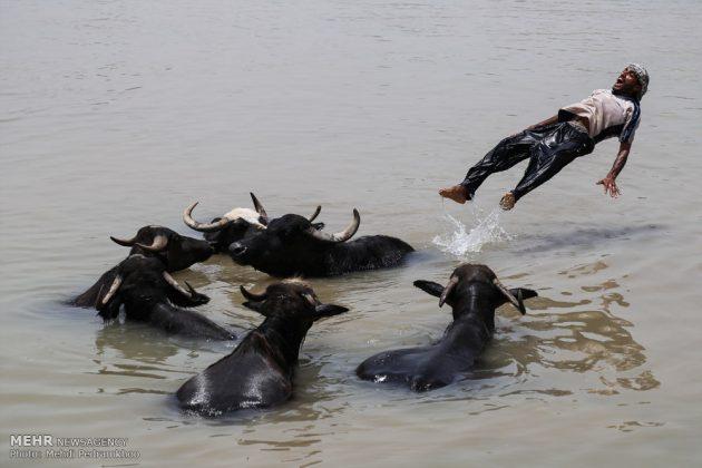 جواميس الماء في نهر كارون في أهواز25