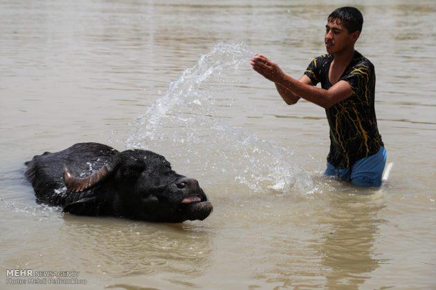 جواميس الماء في نهر كارون في أهواز26