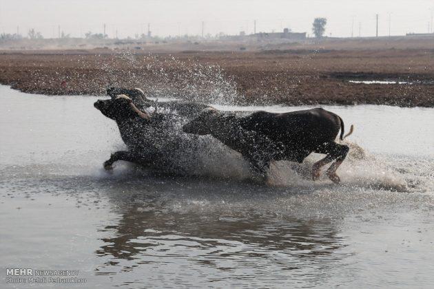 جواميس الماء في نهر كارون في أهواز28