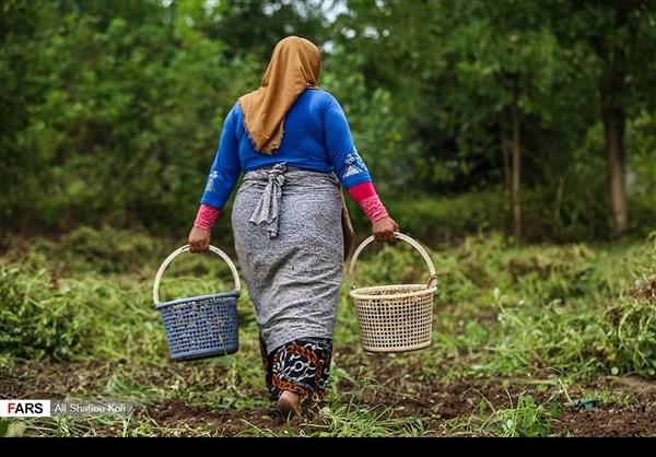 """حصاد """"الفول السوداني"""" شمال ايران3"""