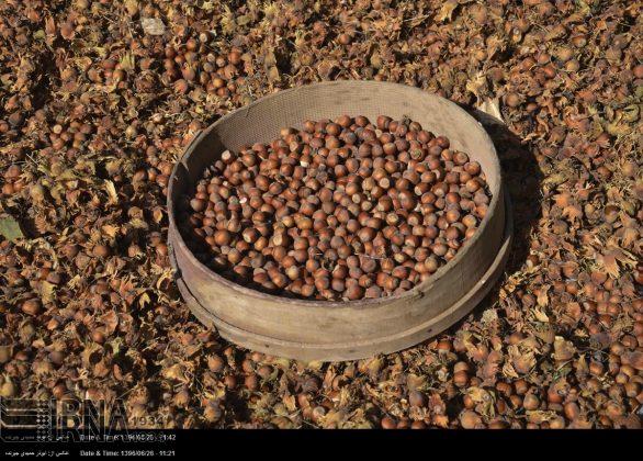 موسم حصاد البندق فی شمال ایران3