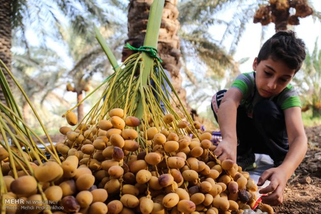 جني التمور بمحافظة خوزستان3