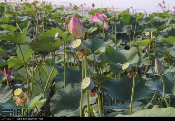 تفتح الزهور فی محمیة انزلی المائیة4