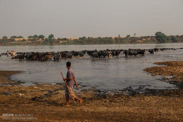 جواميس الماء في نهر كارون في أهواز4