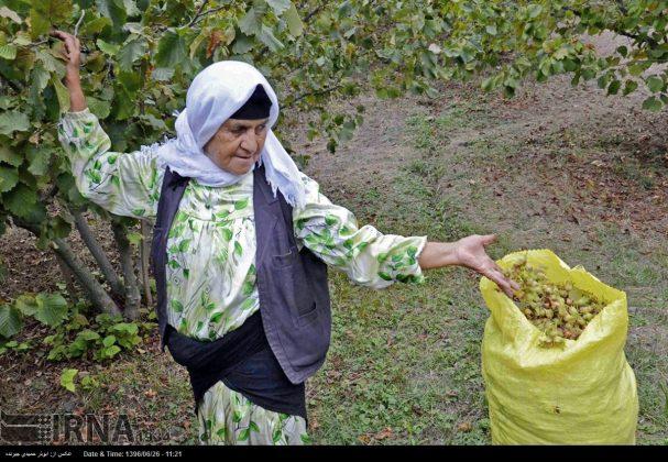 موسم حصاد البندق فی شمال ایران4