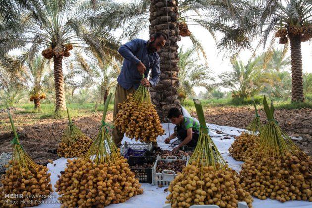 جني التمور بمحافظة خوزستان4
