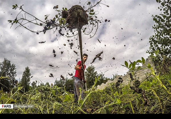 """حصاد """"الفول السوداني"""" شمال ايران5"""