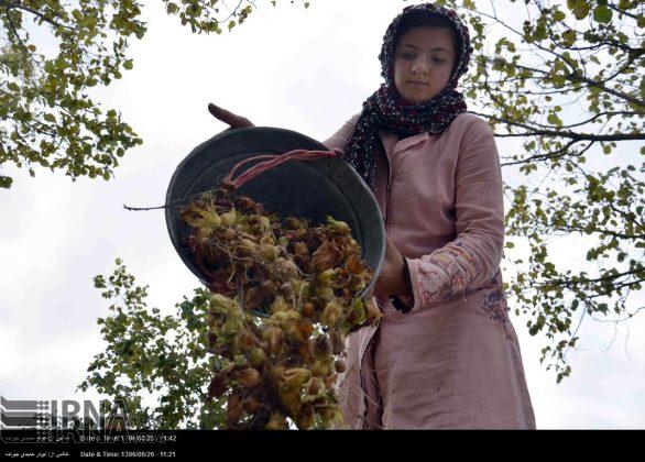 موسم حصاد البندق فی شمال ایران5