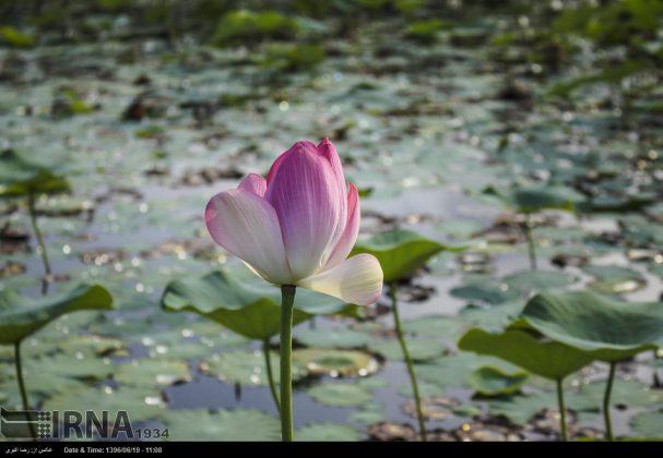 تفتح الزهور فی محمیة انزلی المائیة6