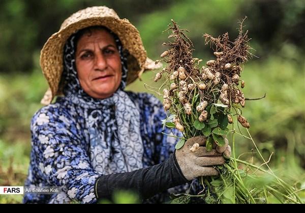 """حصاد """"الفول السوداني"""" شمال ايران6"""