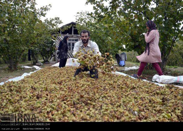 موسم حصاد البندق فی شمال ایران6