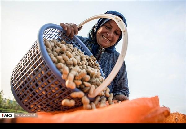 """حصاد """"الفول السوداني"""" شمال ايران7"""