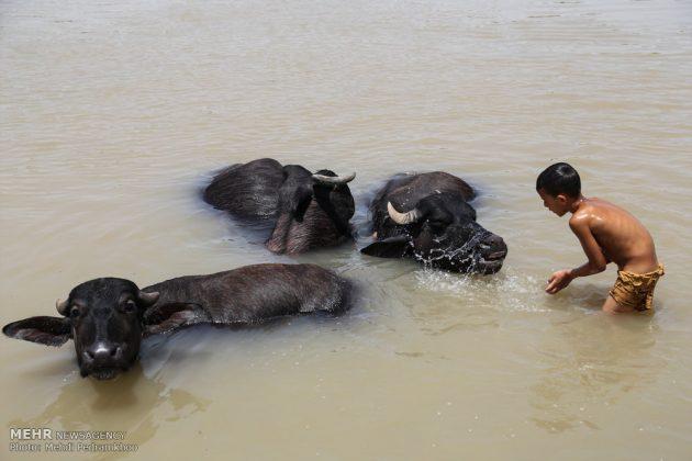 جواميس الماء في نهر كارون في أهواز7