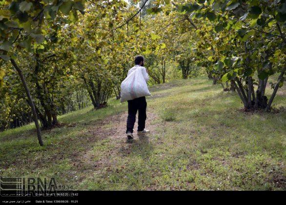 موسم حصاد البندق فی شمال ایران7