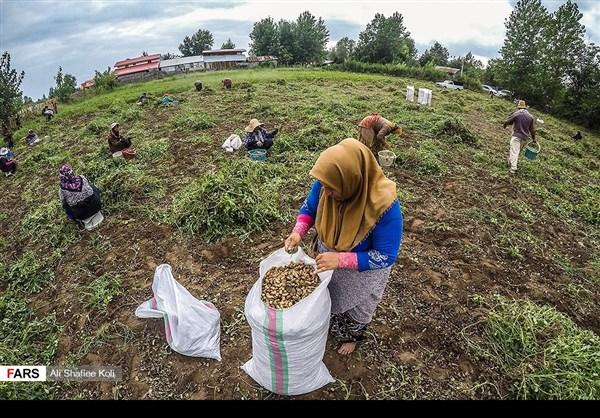 """حصاد """"الفول السوداني"""" شمال ايران8"""
