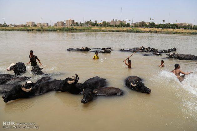 جواميس الماء في نهر كارون في أهواز8