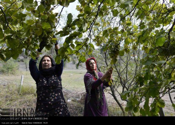 موسم حصاد البندق فی شمال ایران8