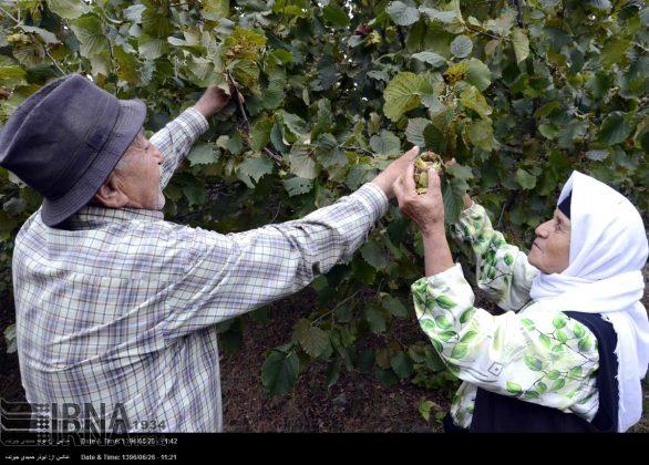 موسم حصاد البندق فی شمال ایران9