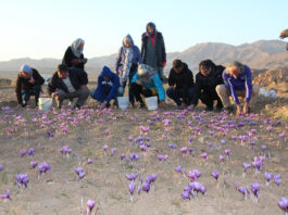 Iran Taking Tourists on Tours of Saffron Harvest