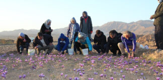 Iran Taking Tourists on Tours of Saffron Harvest