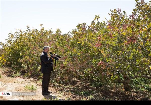 حصاد وتسويق الفستق في قزوين الايرانية 1