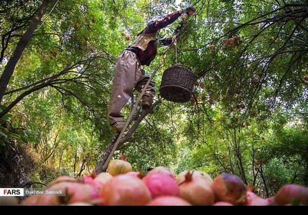 حصاد الرومان في كردستان الايرانية 11