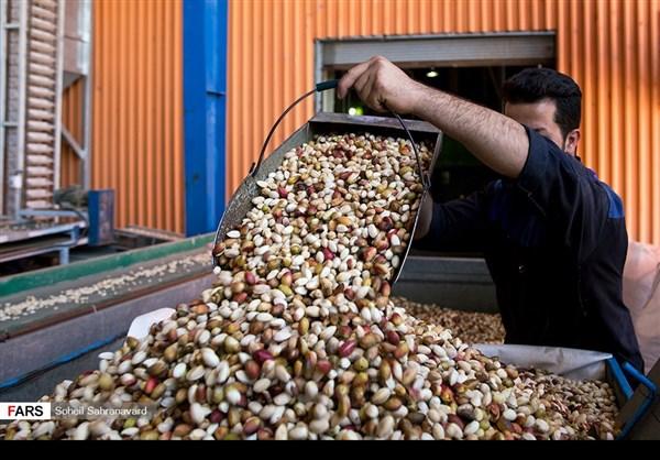 حصاد وتسويق الفستق في قزوين الايرانية 11