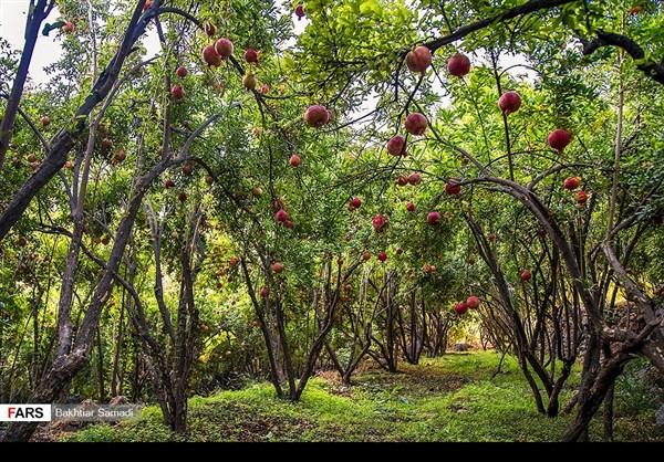 حصاد الرومان في كردستان الايرانية 12