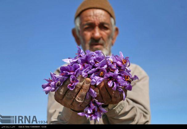 جني محصول الزعفران في خراسان الشمالية 12