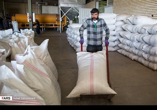 حصاد وتسويق الفستق في قزوين الايرانية 13