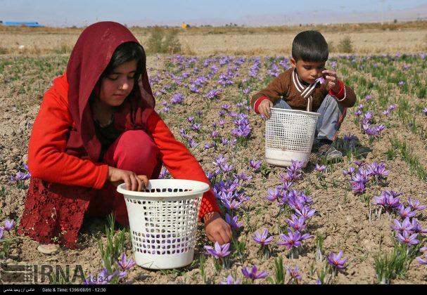 جني محصول الزعفران في خراسان الشمالية 13