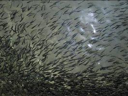 ايران .. صادرات الثروة السمكية تسجل نموا بنحو 60 بالمائة
