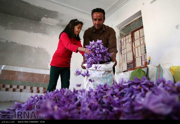 جني محصول الزعفران في خراسان الشمالية 14