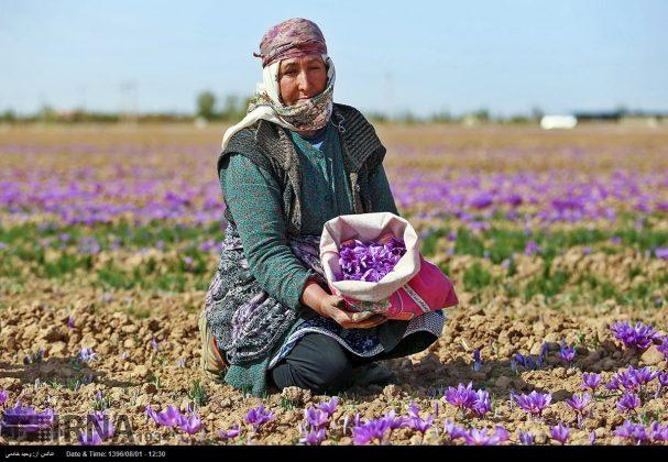 جني محصول الزعفران في خراسان الشمالية 15