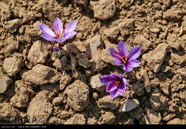 جني محصول الزعفران في خراسان الشمالية 16