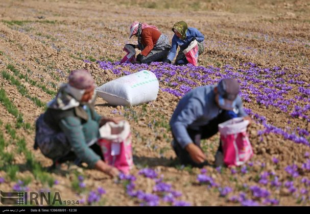 جني محصول الزعفران في خراسان الشمالية 17